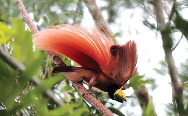 bird of paradise bird watcher