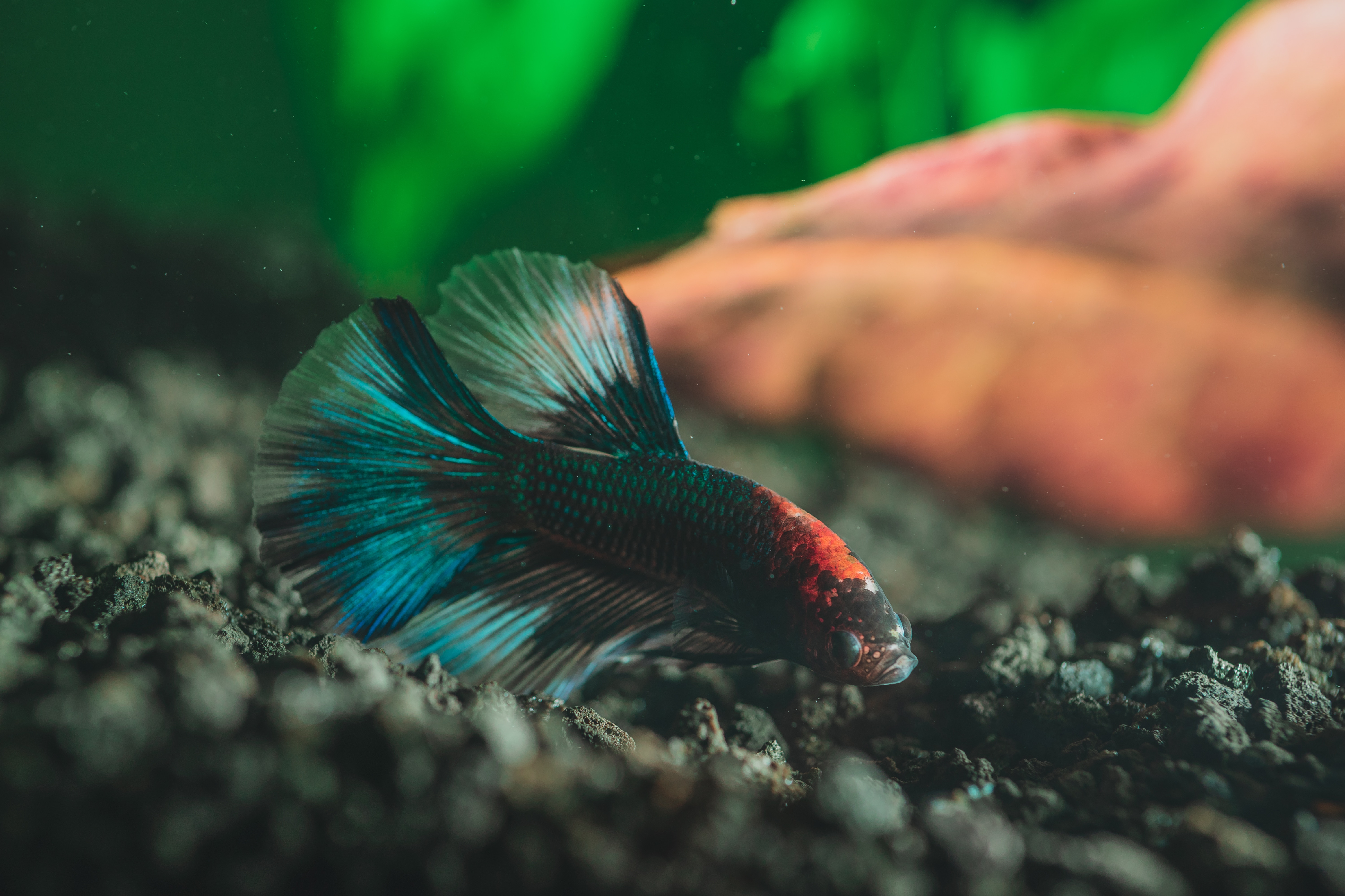 The Most Colorful Pet Fish for Beginners from North Carolina Lifestyle Blogger Adventures of Frugal Mom